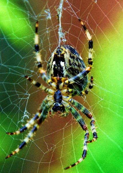 spider by sylwia_sylwia