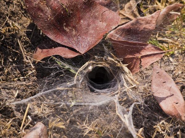 Trapdoor Spider Burrow by maggietear