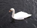 Lea Valley Swan