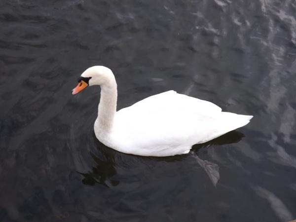 Lea Valley Swan by freewilluk