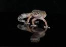 Loapard Gecko