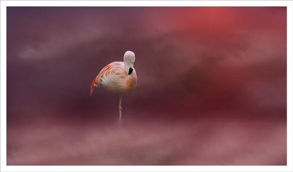 Flamingo by clintnewsham