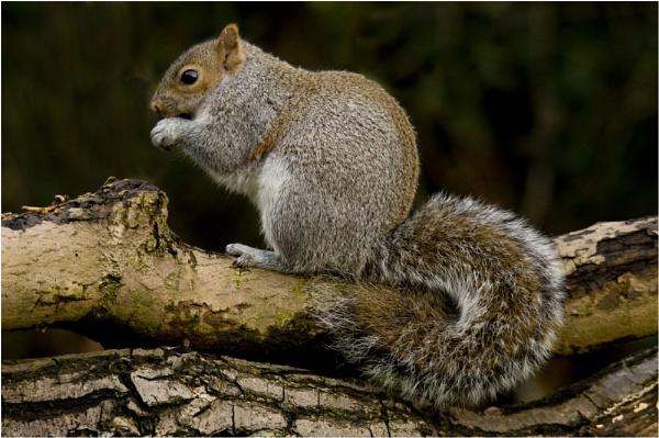 Grey Squirrel by dven