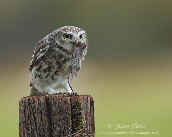 Little owl with prey II by Steve_S