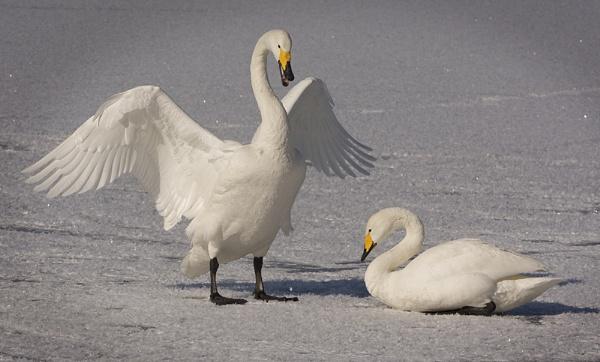 Swan Lake by CathR