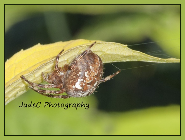 Incey Wincey Spider by JudeC