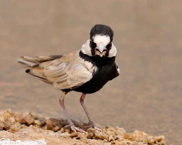 Black-crowned finch-lark by ajdh