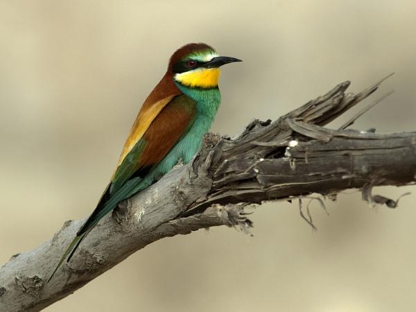 European bee-eater by ajdh