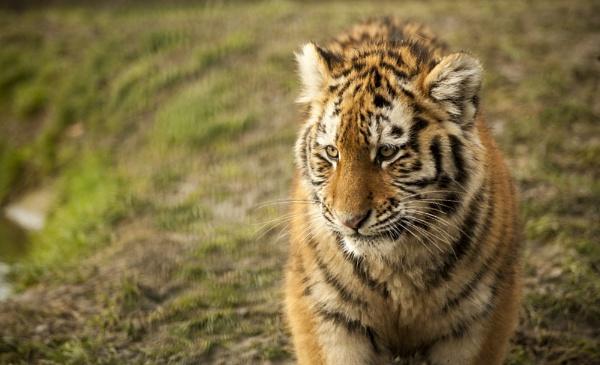Cute little cub by editfmah