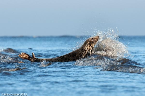 Grey Seals by hasslebladuk