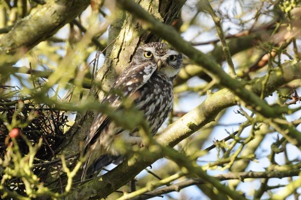 Little Owl by nik50