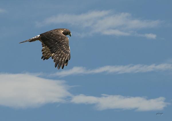 Hawk 1199 by paulknight