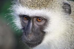 Vervat Monkey
