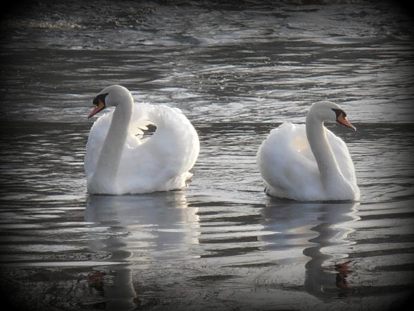 swans by WAKO
