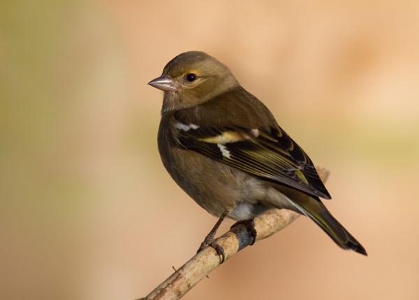 Female Chaffinch by PhilSingleton