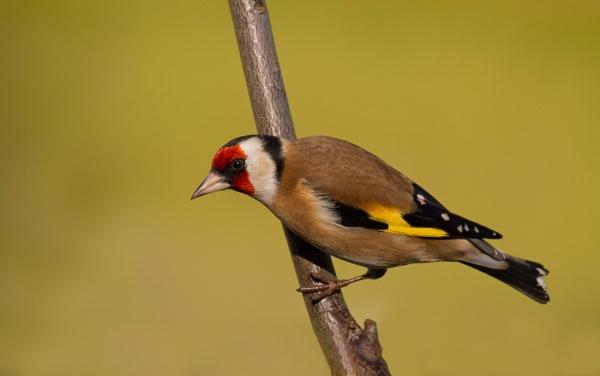 Perching Goldfinch by PhilSingleton