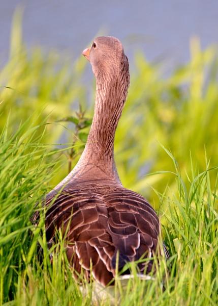 Peeking Duck by Lottiephotography