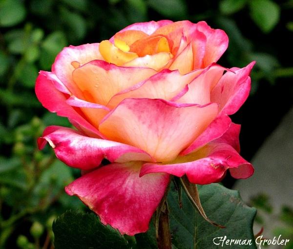 Beautiful Rose by Hermanus