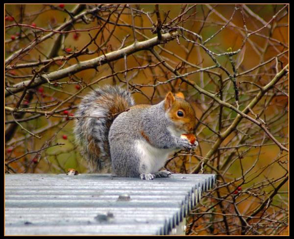 Grey Squirrel by scarjam