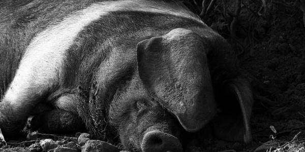 Hog tired by boov