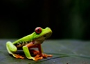 The Tree Frog