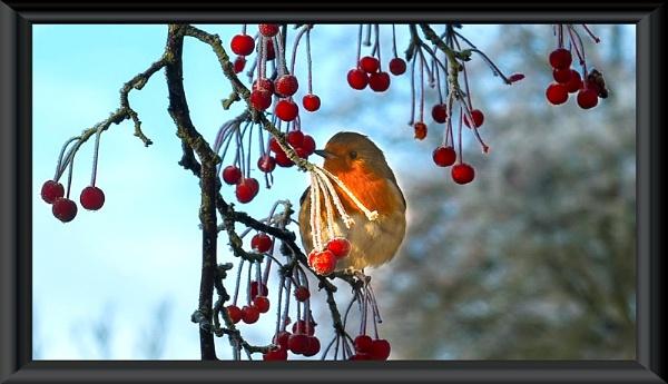 Winter Robin by MomentsInTime