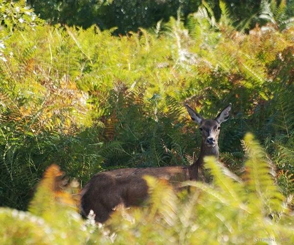 Red Deer Hind by stepr17