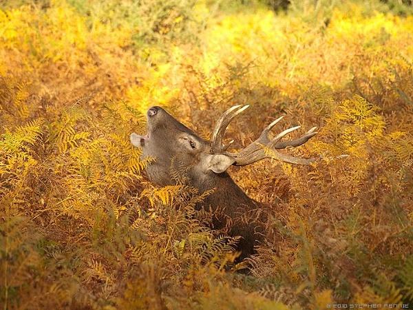 Red Deer by stepr17