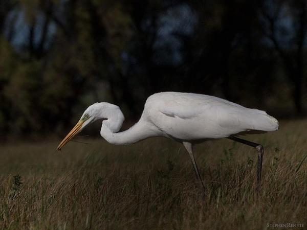 Great White Egret by stepr17