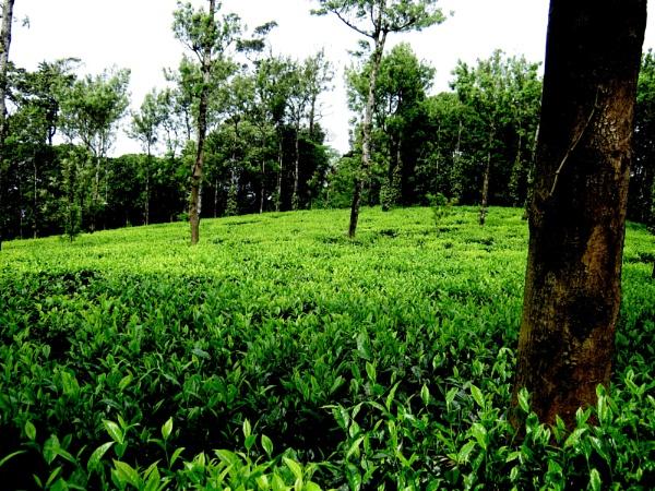 tea plantation by sibins007