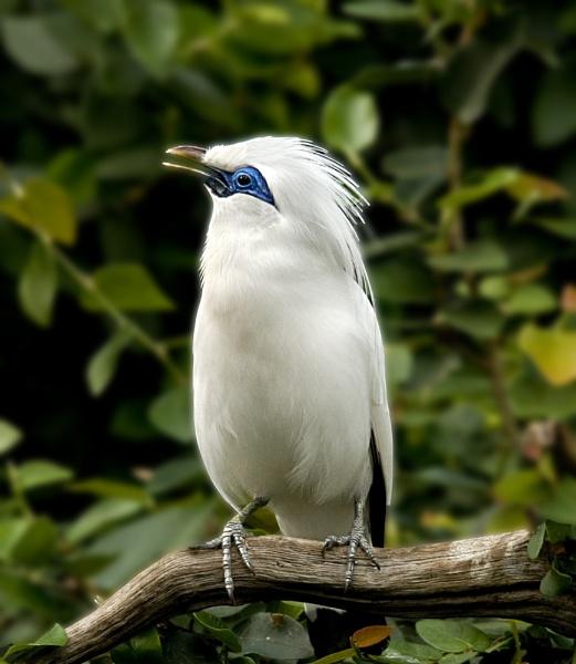 Rothchilds Mynah bird by dven