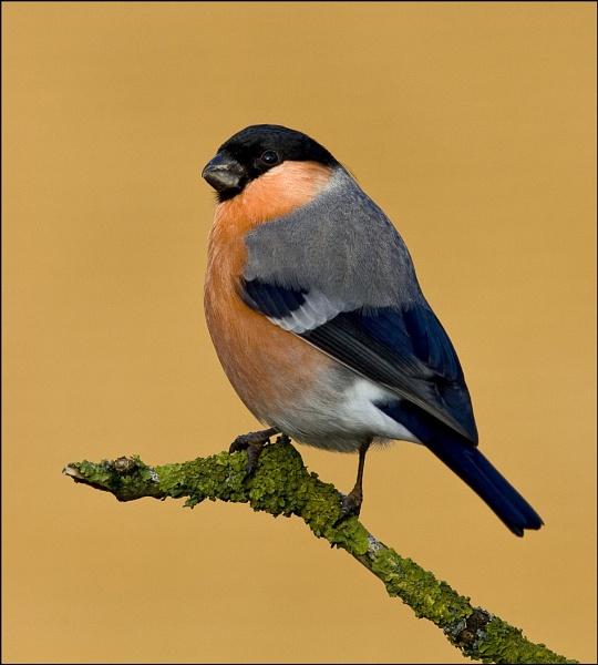 Bullfinch by Alan_Coles