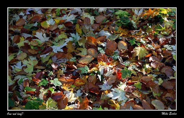 One red leaf? by oldgreyheron