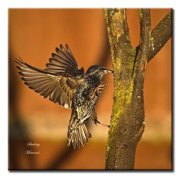 Starling by Maiwand