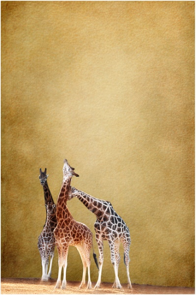 4 Giraffes by iancatch