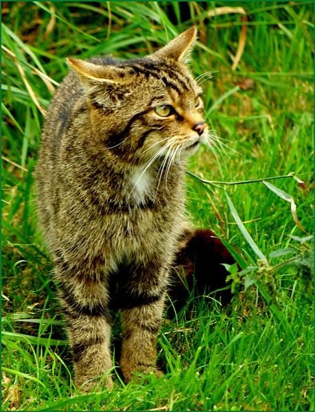 Scottish Wildcat - Felix sylvestris 05. by Badgerfred