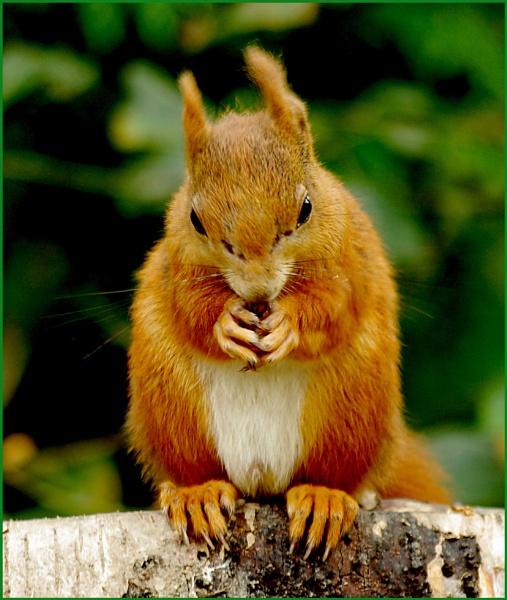 Red Squirrel - Sciurus vulgaris 08. by Badgerfred