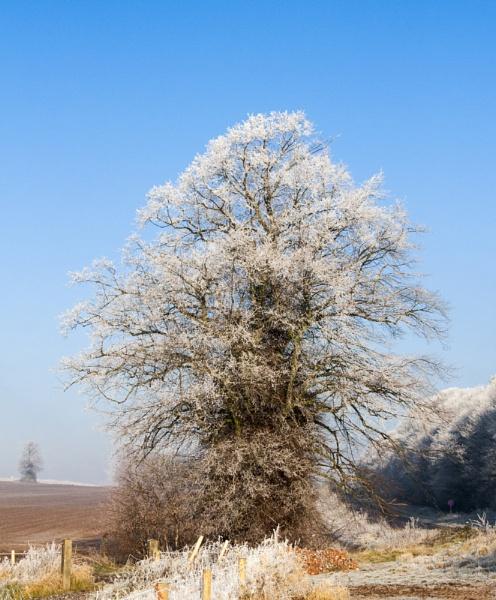 Frosty Trees by Misty56