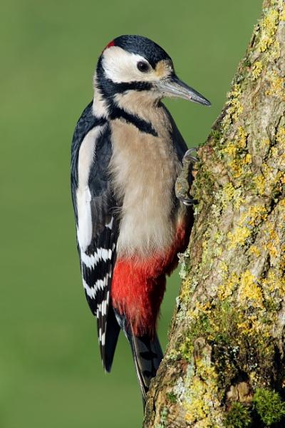 Great Spotted Woodpecker by jcorn3