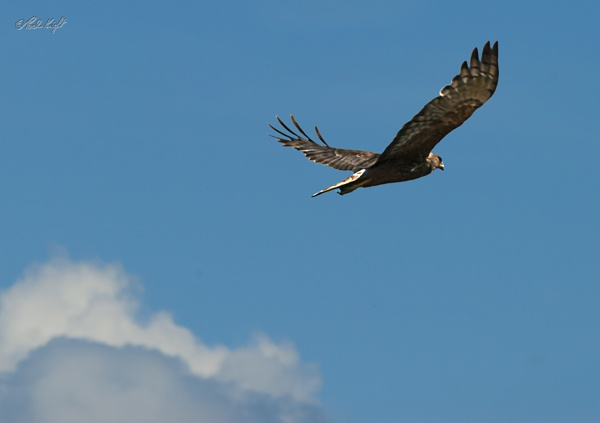 Harrier Hawk1209 by paulknight