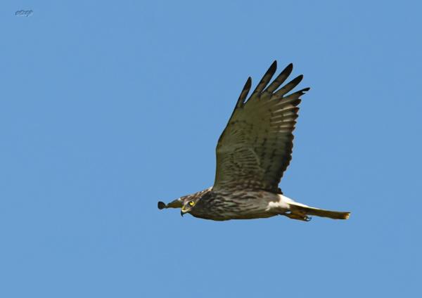 Muhunoa East Hawk 1290 by paulknight