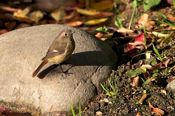 Redstart (F) by Newdawei