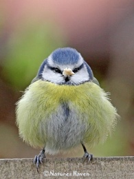 Obesity Strikes The Bird World...........