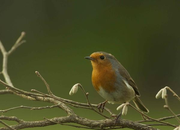 Robin by kennyFC