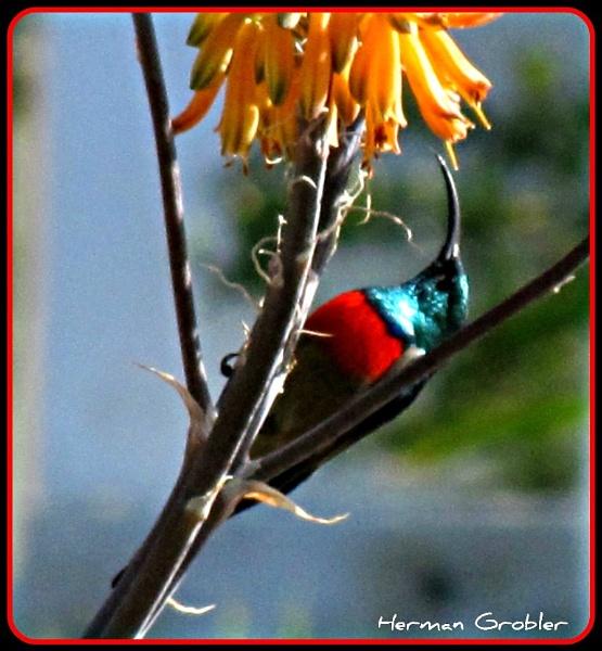 Sunbird by Hermanus