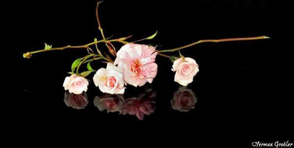 Delicate Pinkies by Hermanus