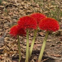 Zambian flowers