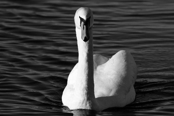 Swan straight ahead by boov