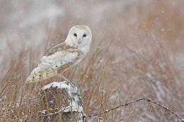 Barn Owl in the snow.
