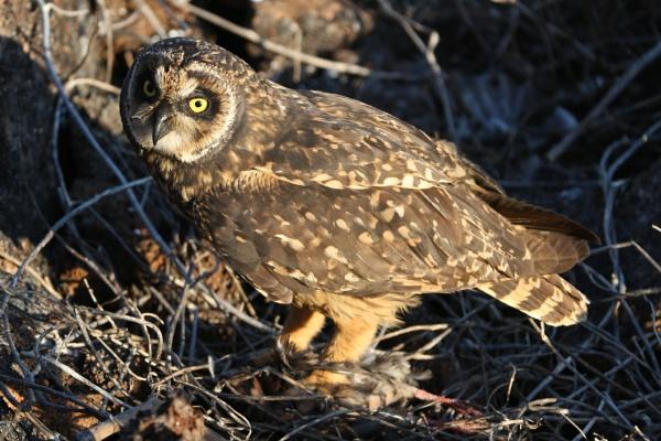 Golapagos Owl with prey by Trekmaster01